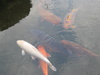 鯉の泳ぐまち